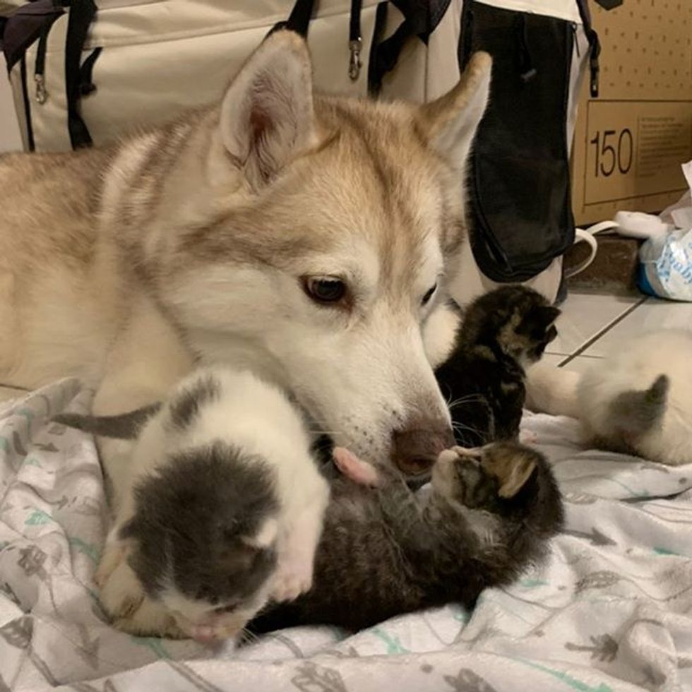 cute, kittens, husky, dog, kitten