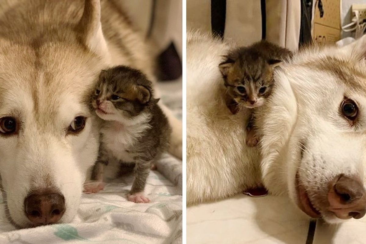 Orphan Kittens Take to Husky and Think She's Mom