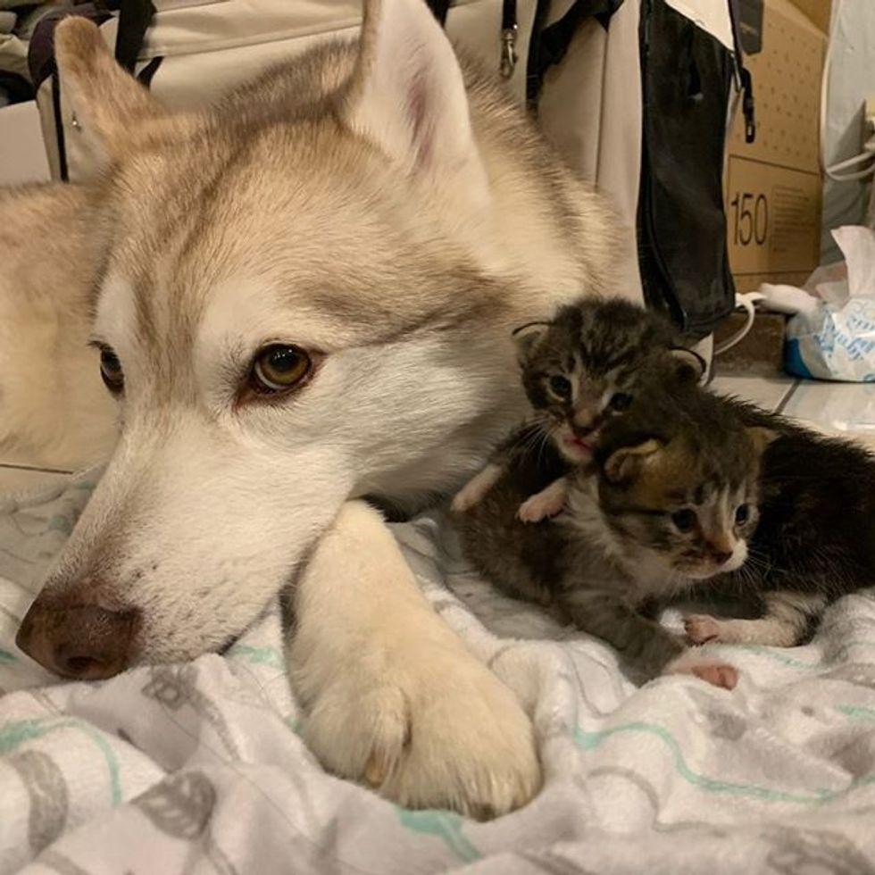 cute, kitten, husky, dog, kittens