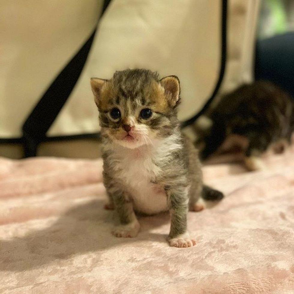 cute, tabby, kitten
