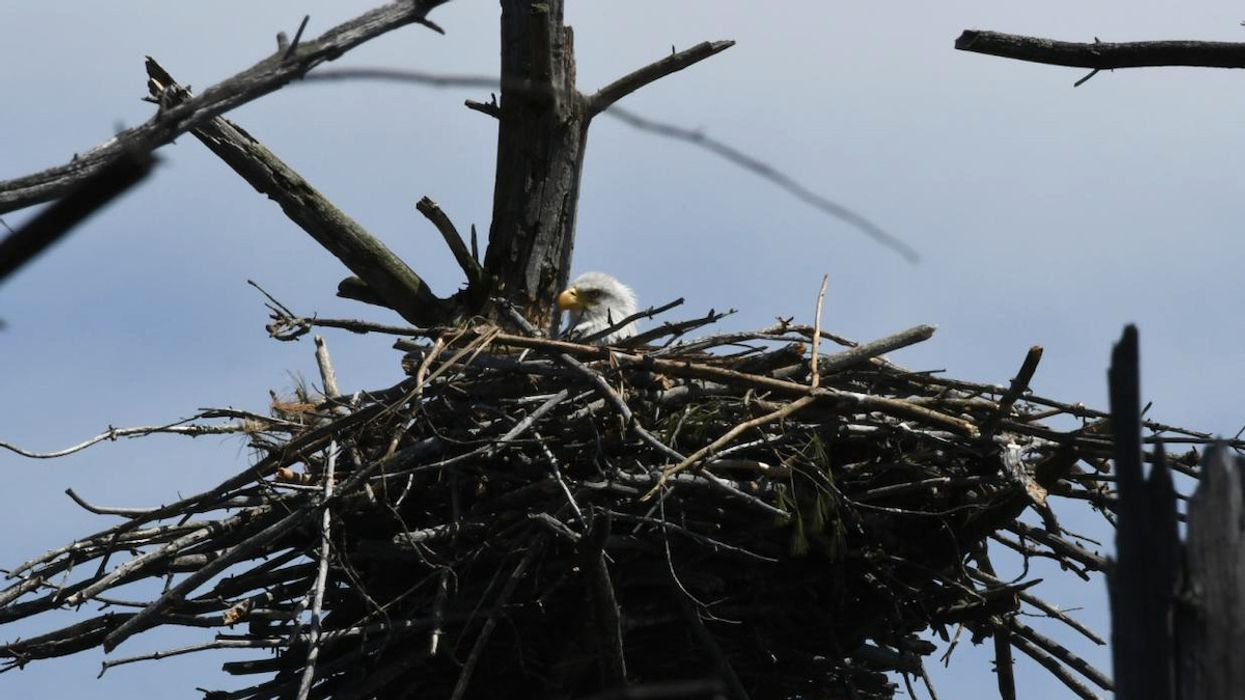 Bald Eagle Nest With Eggs Spotted in Cape Cod for First Time Since 1905