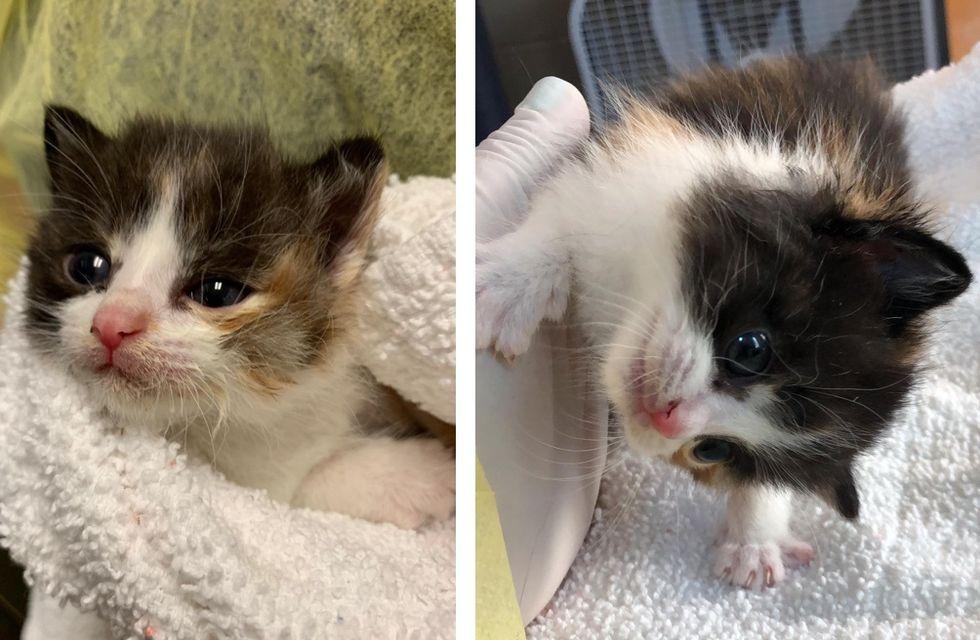 calico kitten, head tilt, Gabby