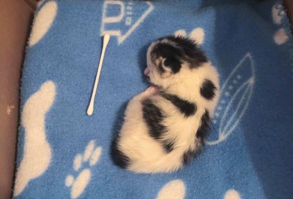 newborn kitten, cow kitten