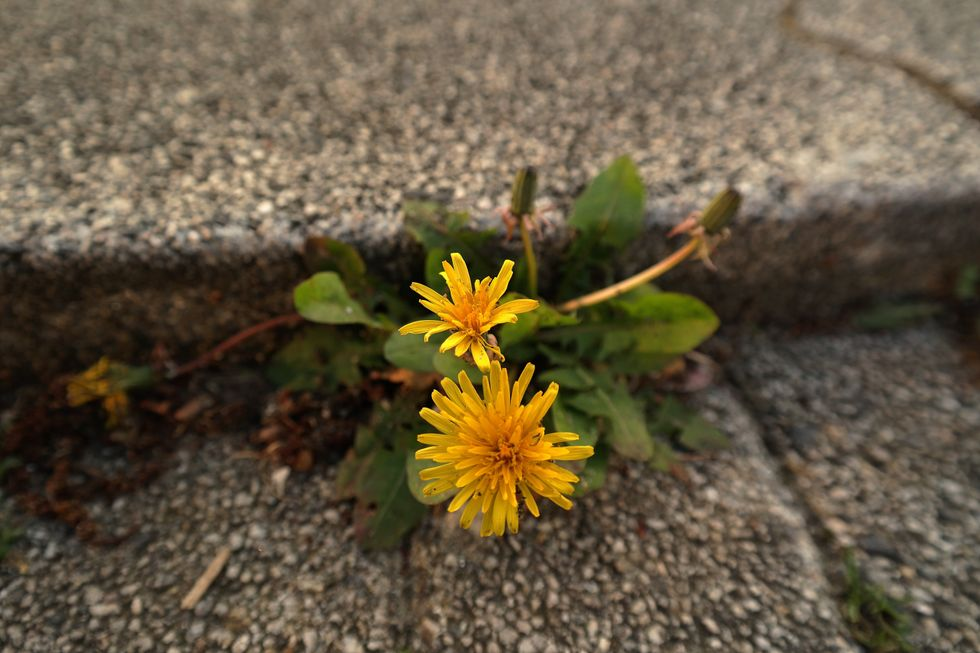 Cracked concrete growing flowers