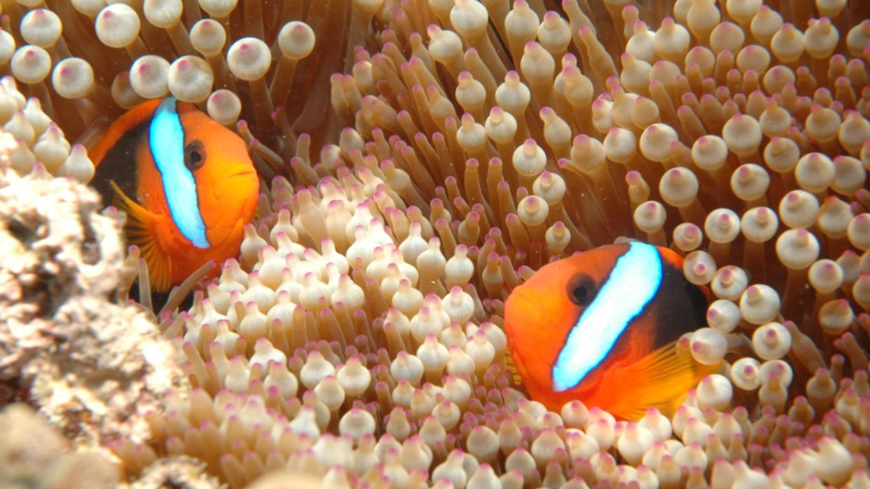 Scientists Play Recordings to Attract Fish to Damaged Parts of Great Barrier Reef