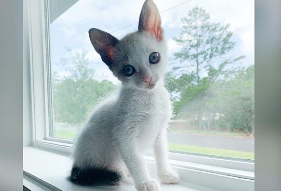 siamese kitten, window