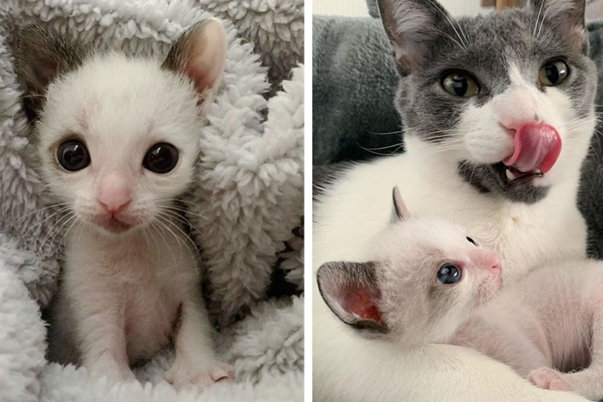 Palm-sized Kitten with Big Eyes Finds New Family to Cuddle