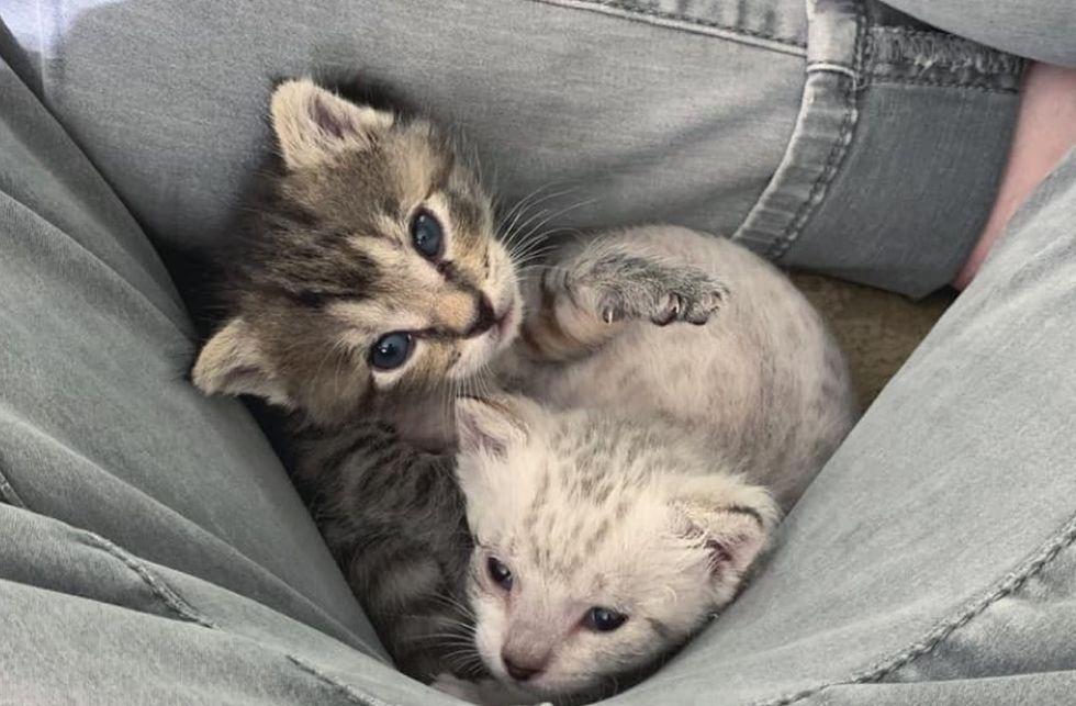 lap cats, cute kittens