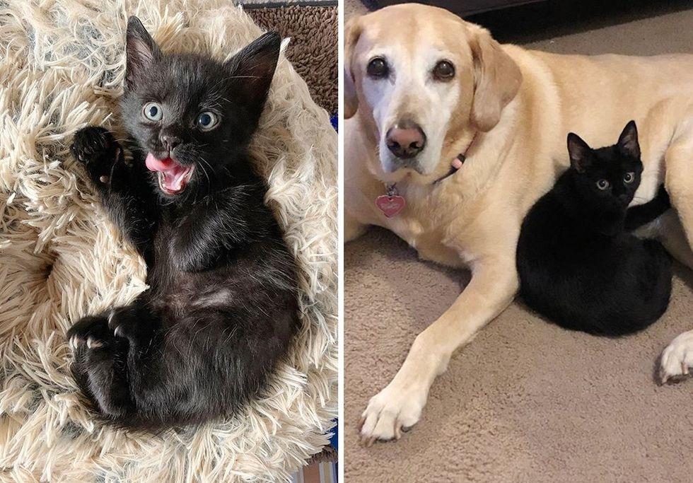panther kitty, kitten, Labrador dog