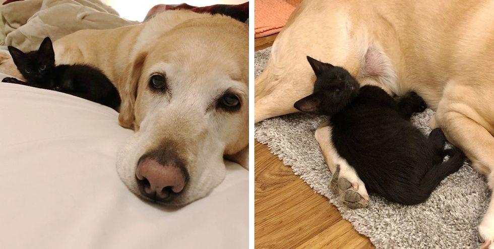 kitten, Labrador dog, best friends