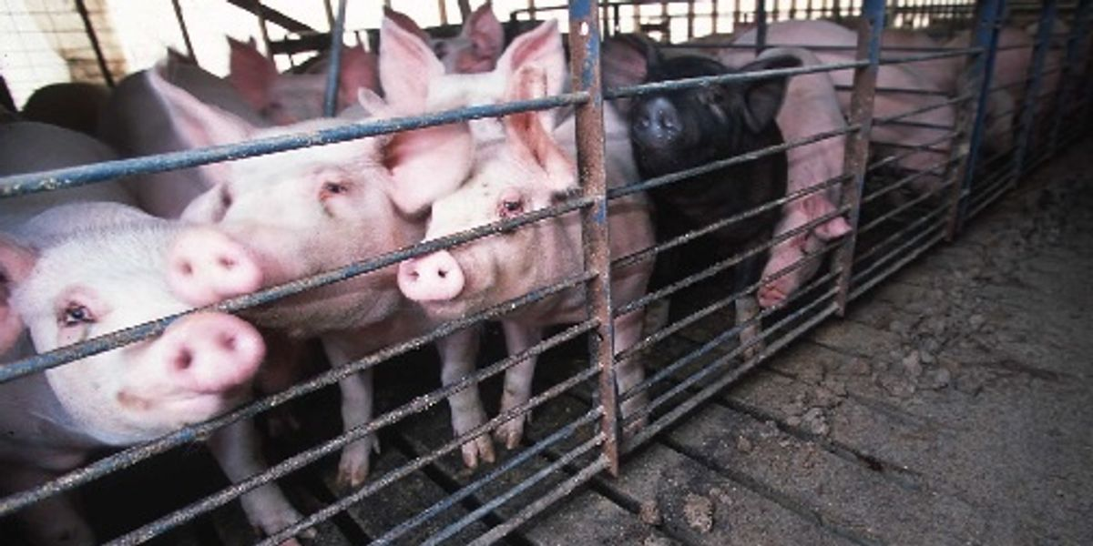 Carbon dioxide may worsen hog farmworkers' breathing problems.