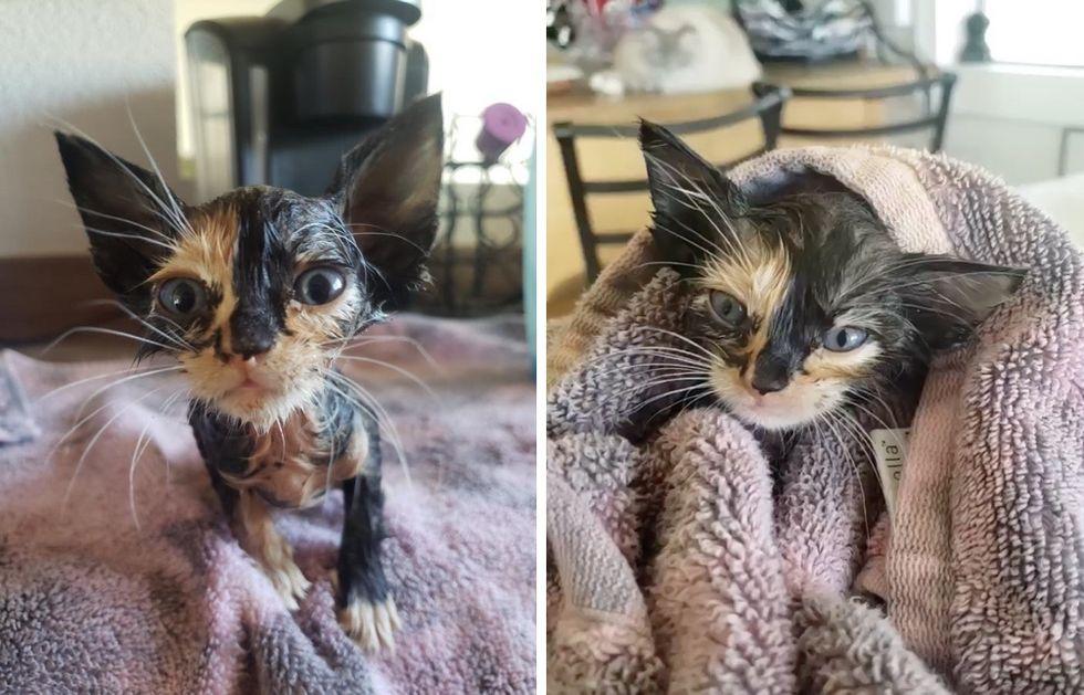 calico kitten, bath
