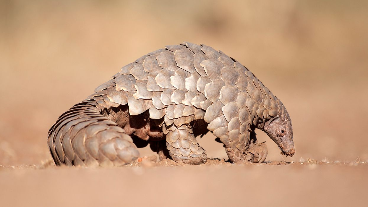 Back From Extinction: Returning Threatened Pangolins to the Wild