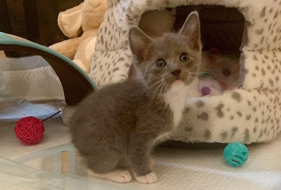 tailless kitten, manx cat