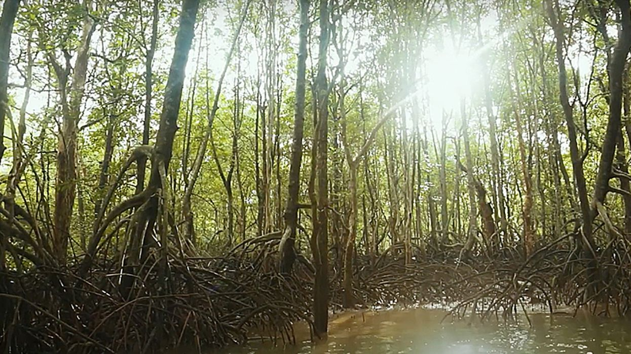 Group Helps Turn Abandoned Shrimp Farms Into Carbon-Storing Mangrove Ecosystems