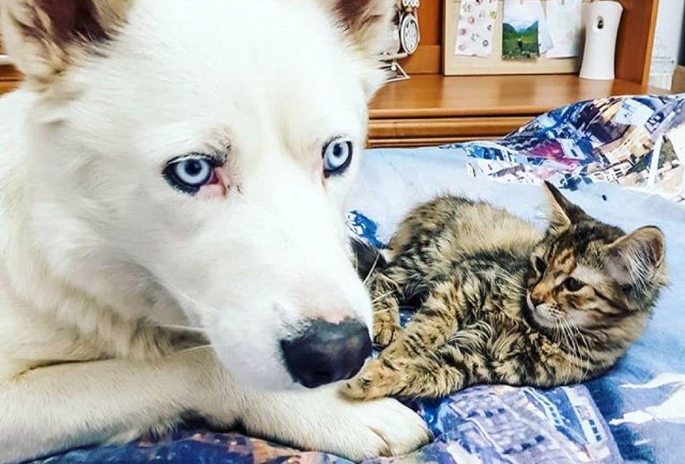 husky dog, cute kitten