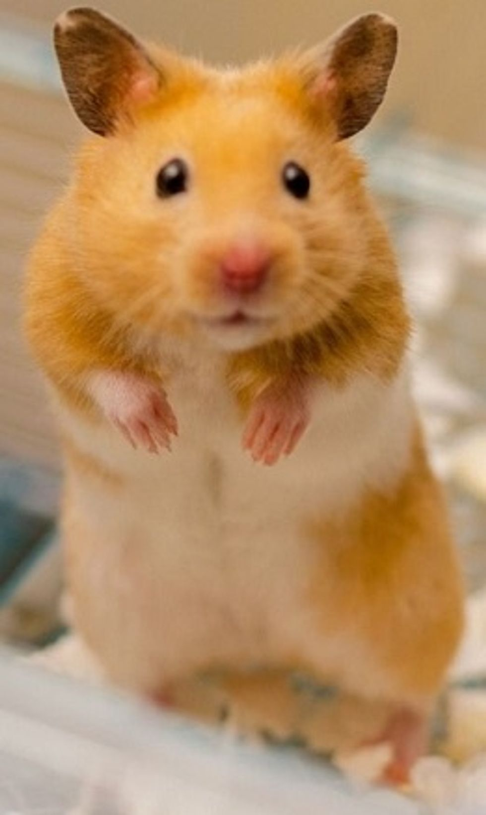 Tips And Tricks To Owning a Hamster