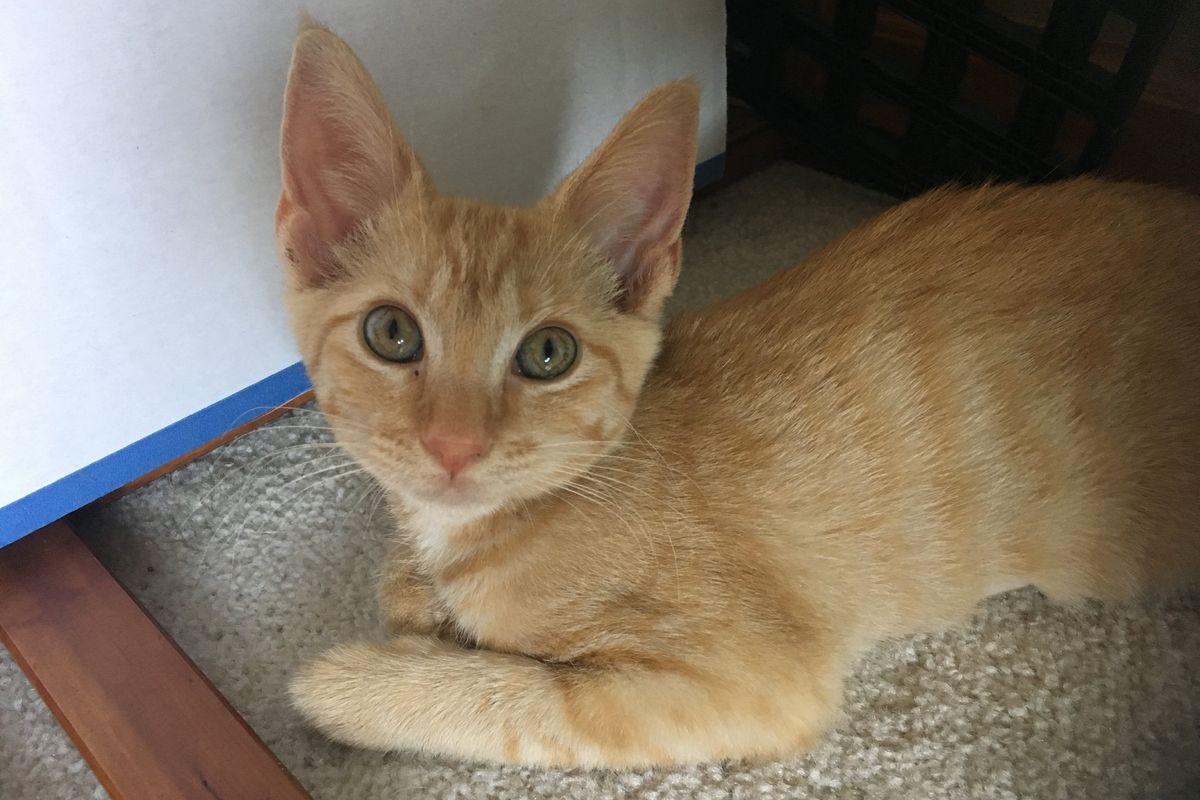 tabby cat, ginger cat