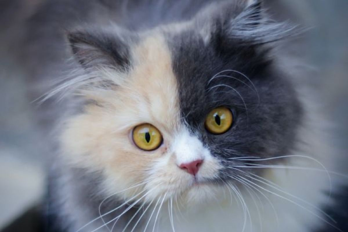 How To Tell Difference Between Calico, Tortie, Torbie, Tabby Cats and Kittens