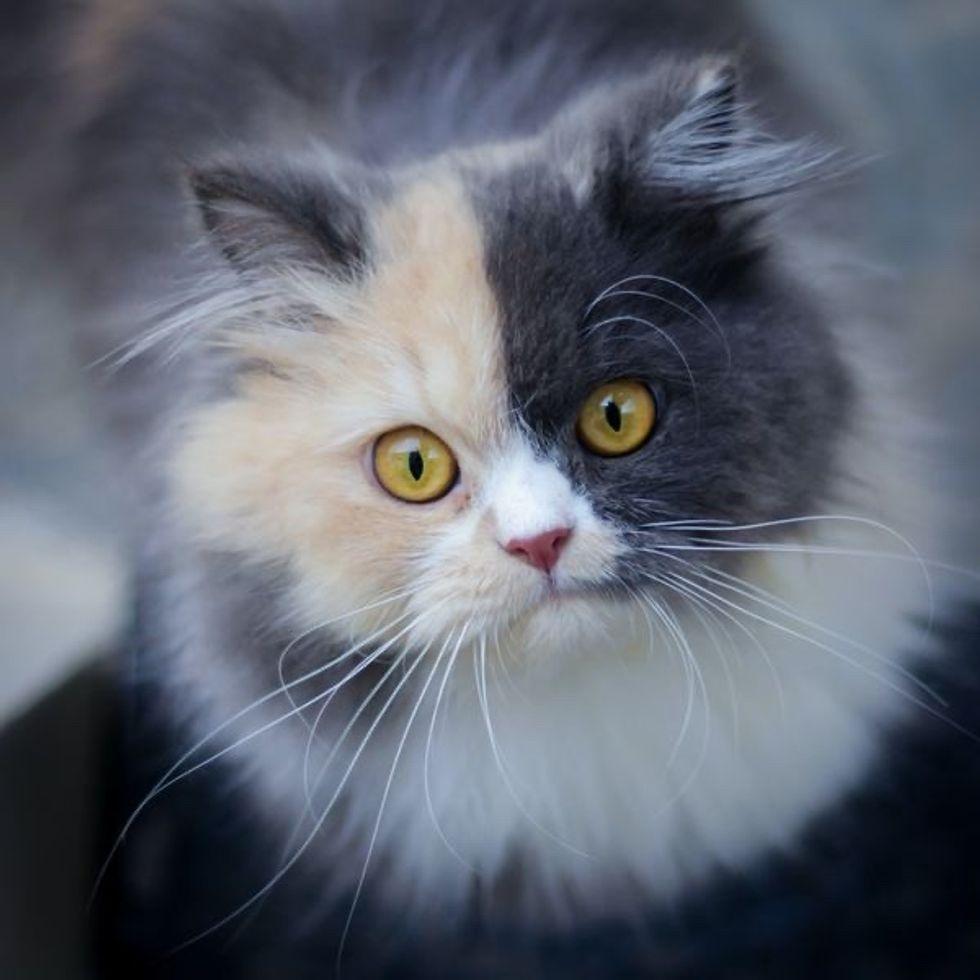 dilute calico, cat, chimera
