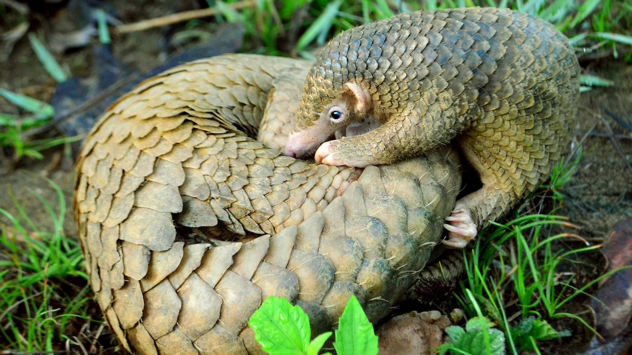 Conservation 'Game-Changer': China Removes Pangolin Scales From Traditional Medicine List
