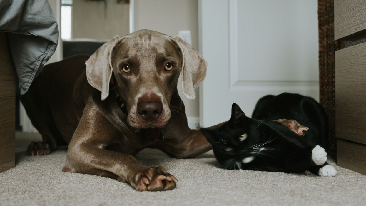 dog lying on carpet with paw on top of cat