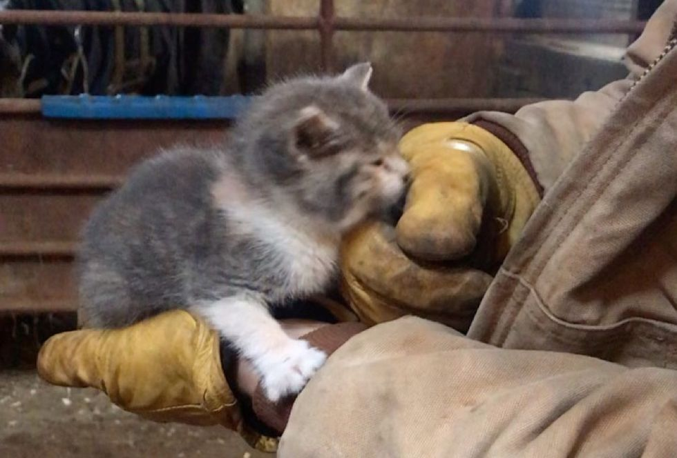 kitten, barn, cuddles