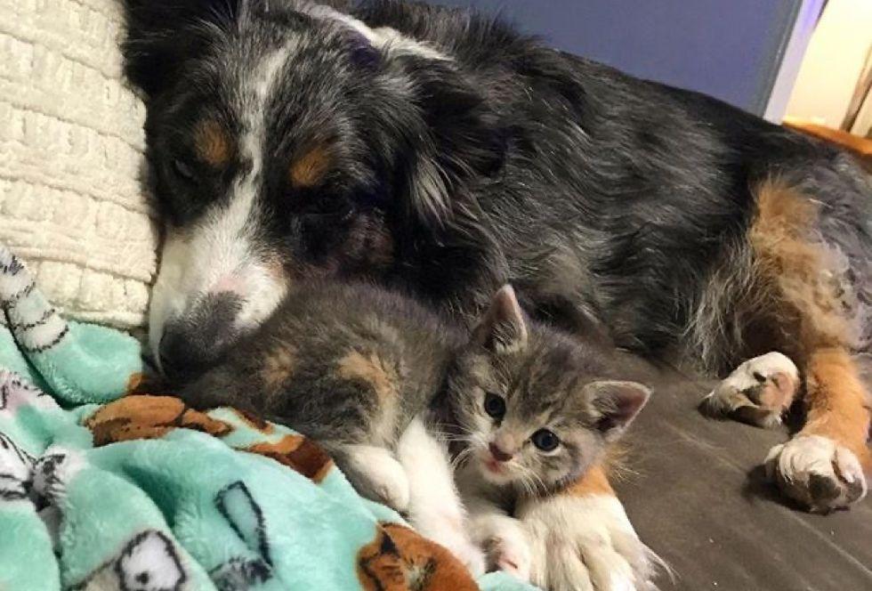 kitten, dog, cuddles
