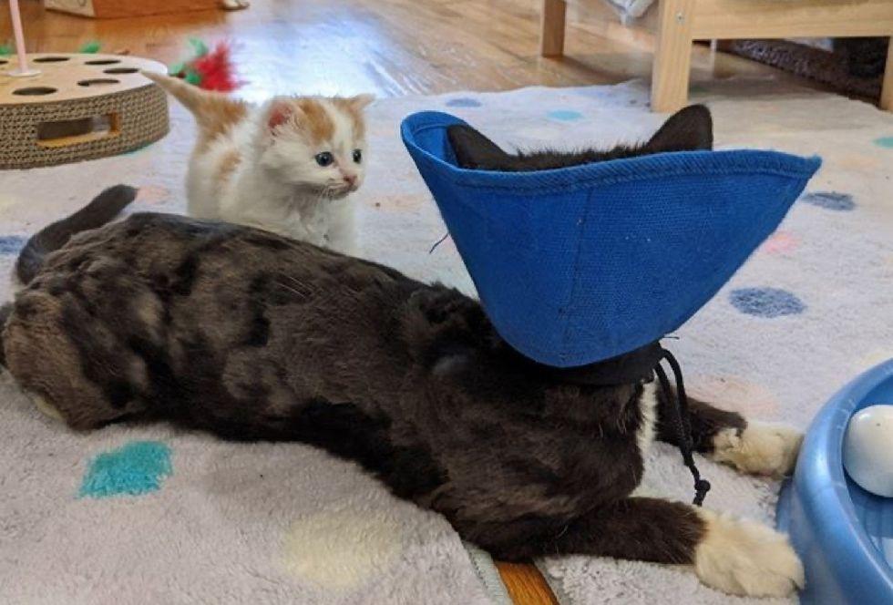 kitten, cat, collar