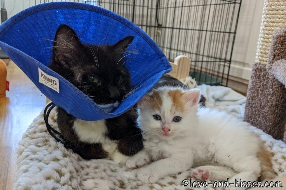 kitten, cuddles, tuxedo cat
