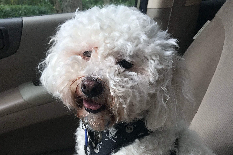 Meet My Dog: Hamilton, A MaltiPoo Who Lives In Naples, Florida