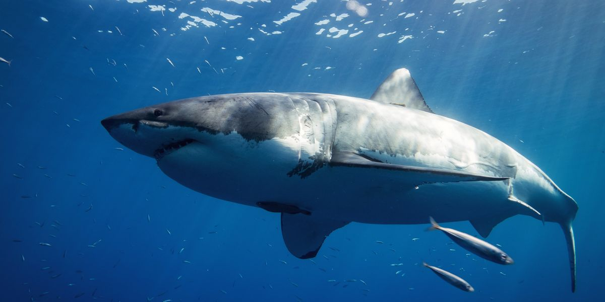 What's in a great white shark's diet? - Big Think