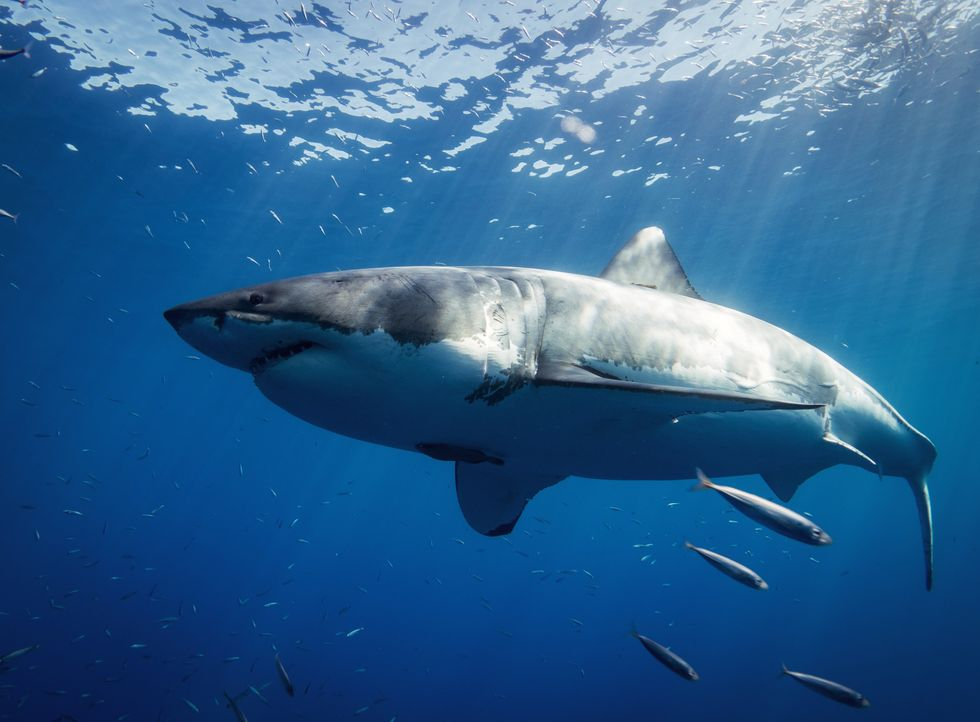 The great white shark has surprising dining habits