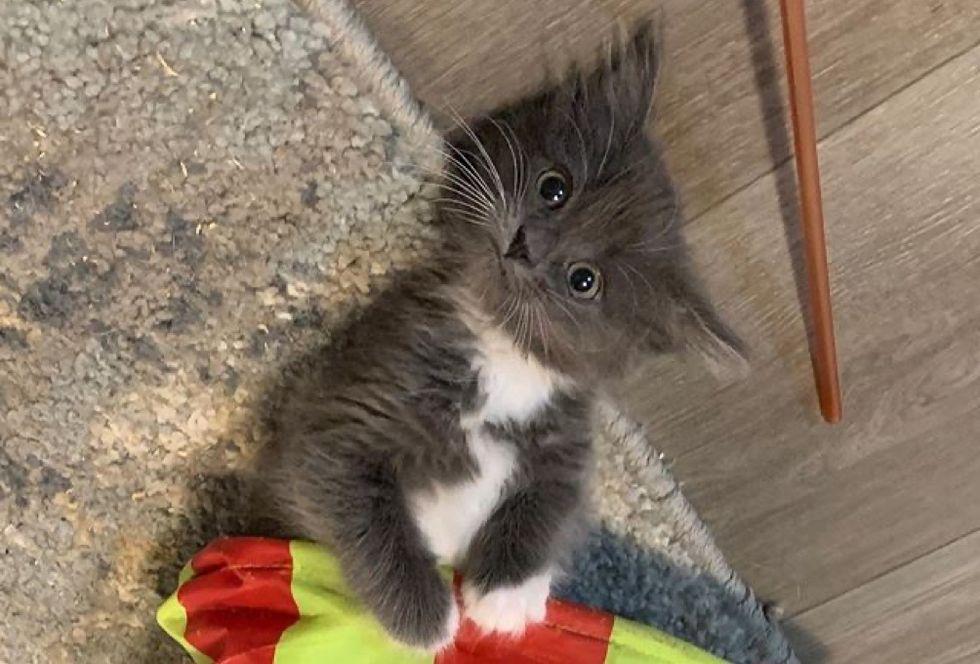 kitten, tuxedo
