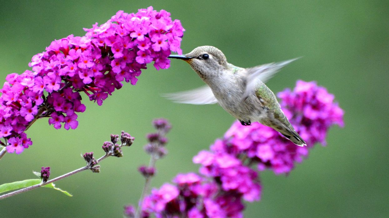 Hummingbirds Live in a More Colorful World, Study Confirms