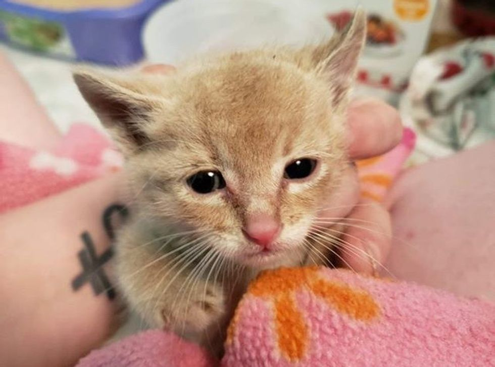 cute, kitten, ginger, cuddle