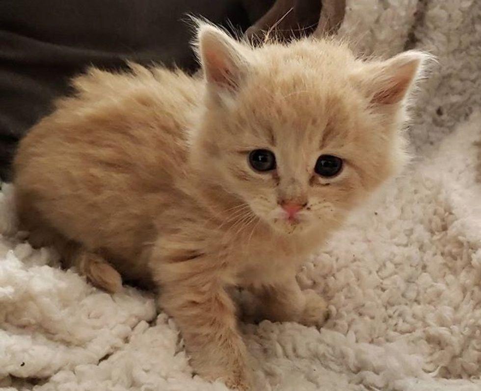 cute, kitten, fluffy, foster