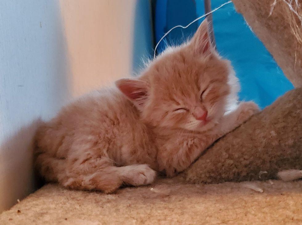 cute, ginger kitten, sleeping