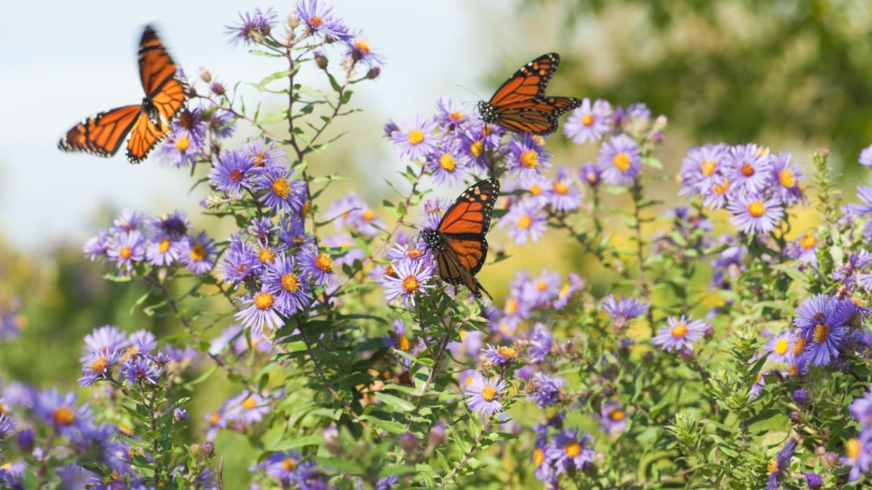 Monarch Butterflies Will Be Protected Under Historic Deal