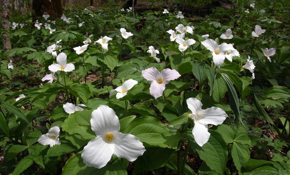 great white trillium wildflowers