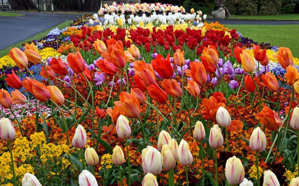 tulips dublin ireland