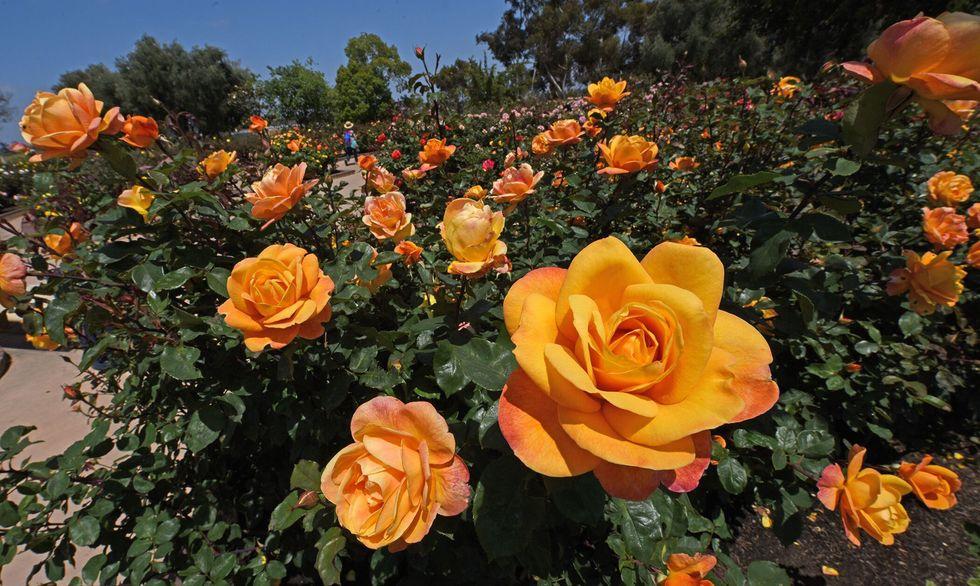 roses san diego