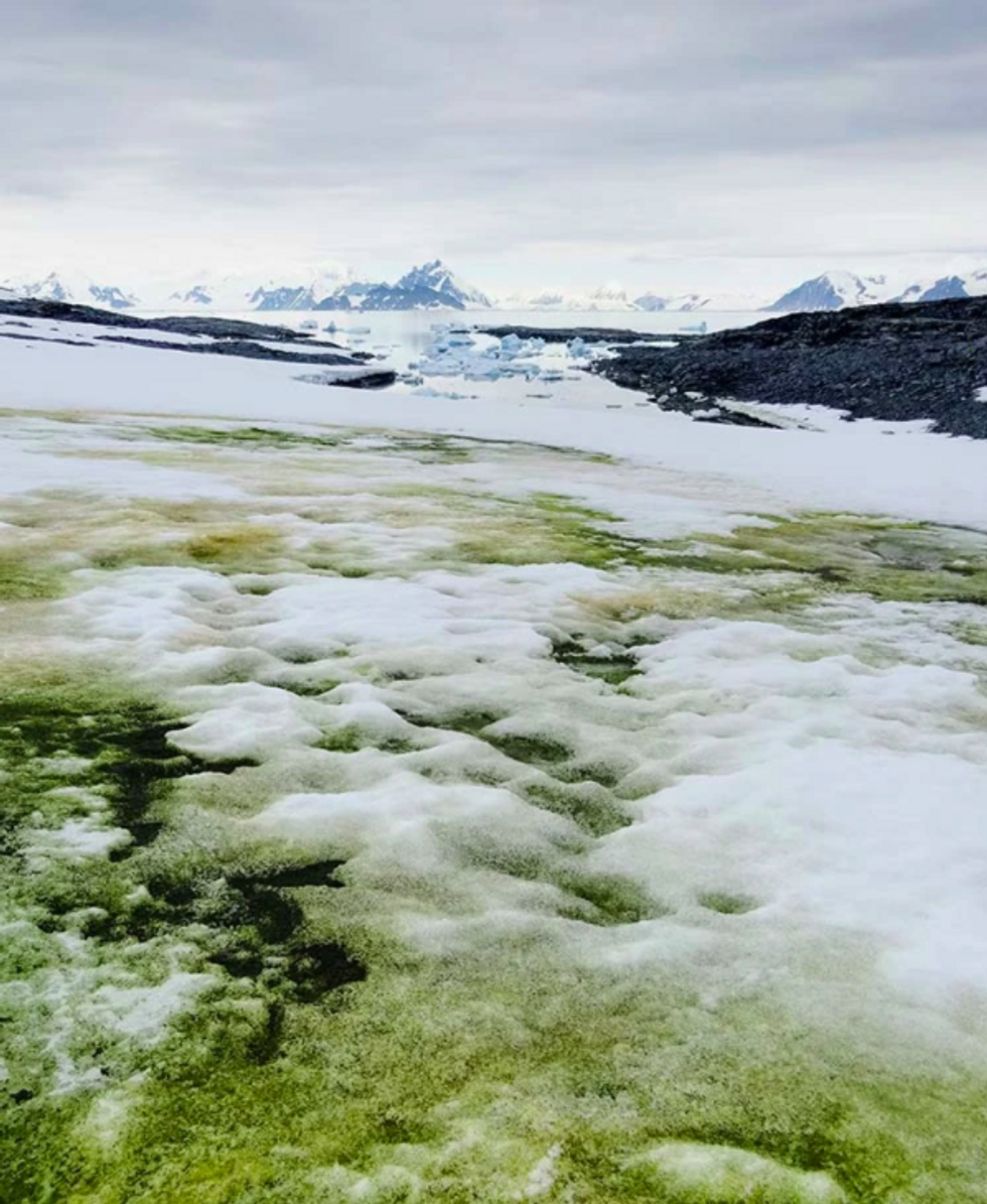 A photograph showing a snow algae bloom dominated by green algae starting to melt out from beneath seasonal snow cover to sit exposed upon underlying multiyear ne\u0301 ve\u0301 /firn. 26 January 2018, Anchorage Island (67.6\u00b0S). Bloom shown was approximately 50\u2009m\u2009\u00d7\u2009100\u2009m.