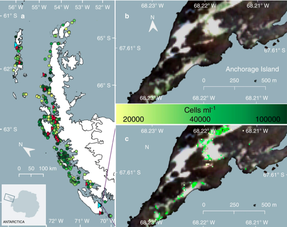 a Overview of the locations of individual blooms of green-dominant snow algae identified across the Antarctic Peninsula using modelled data from satellite imagery and ground data (circles; n\u2009=\u20091679). Circle colour scale represents the mean cell density (cells\u2009ml\u22121) of each bloom. Red triangles indicate the location of ground validation sites (n\u2009=\u200927). Cyan triangles show the location of our Adelaide Island and King George Island field sites. b RGB Sentinel 2A image of green snow algae blooms at one of our validation sites, Anchorage Island (February, 2020). c Output of IB4 (Eq. (1)), where coloured pixels are those not masked by Eq. (3). Pixel values are converted to cell density (cells\u2009ml\u22121) using Eq. (2) with the colour scale showing the resultant cell density for each pixel identified as containing green snow algae.
