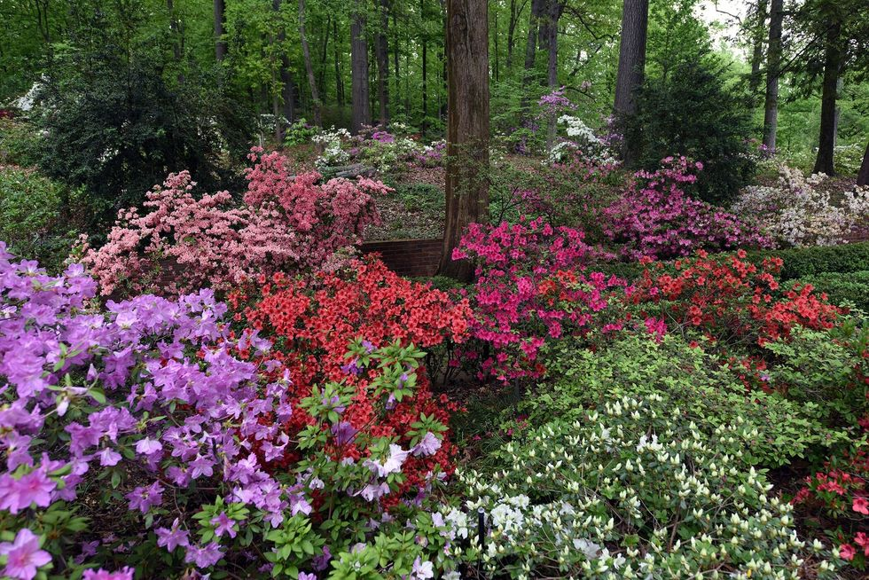u200bNational Arboretum Azaleas.