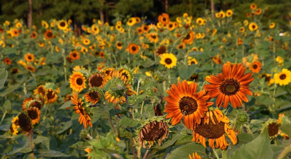 Raleigh, NC, sunflower field. u200b