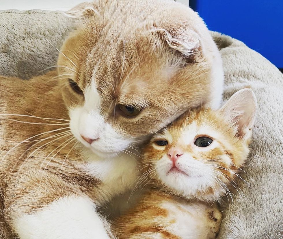 Scottish fold, cat, cuddles, ginger, kitten
