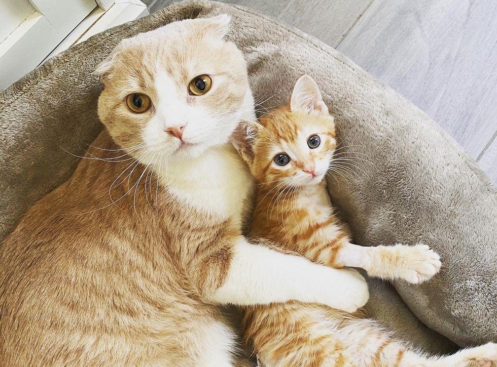 Scottish fold, cat, cuddles, ginger, kitten