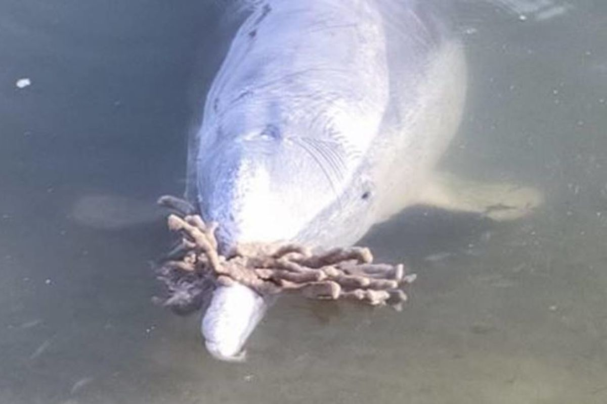Dolphins at a popular tourist spot are bringing gifts to presumably entice humans to return
