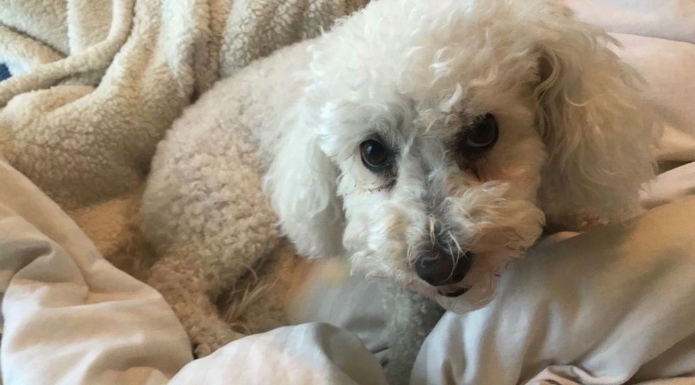 Meet My Dog: Porscha, A Bichon Frise Who Lives In Painesville, Ohio